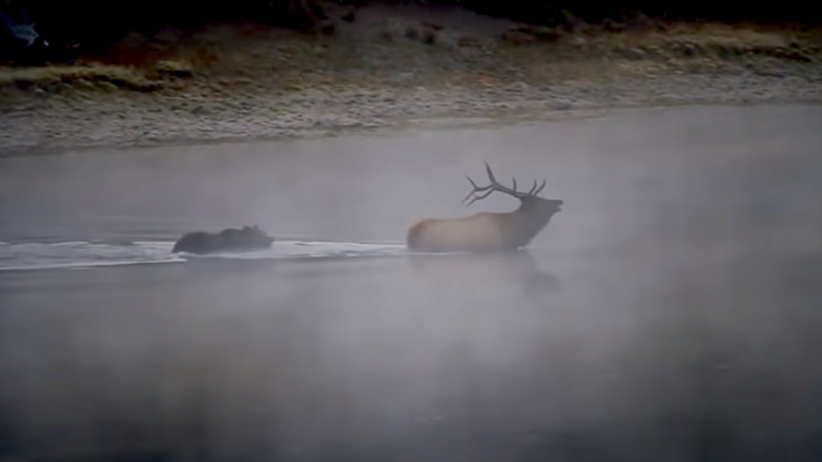 Video: Grizzly Bear Kills Big Bull Elk in River