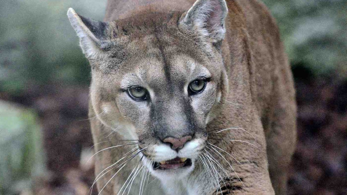 Is Extinction a Path Forward for the Eastern Cougar?