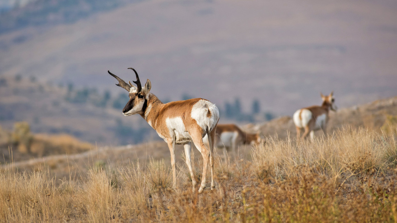 Bowhunting Pronghorn 101