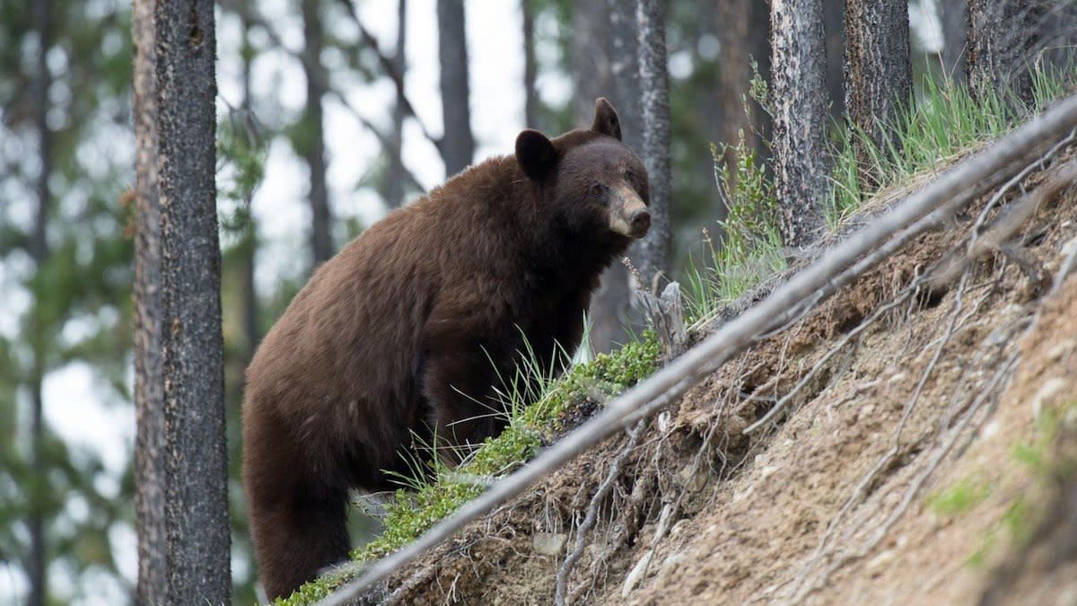 New Legislation Could Ban Bear Hunting in California Forever