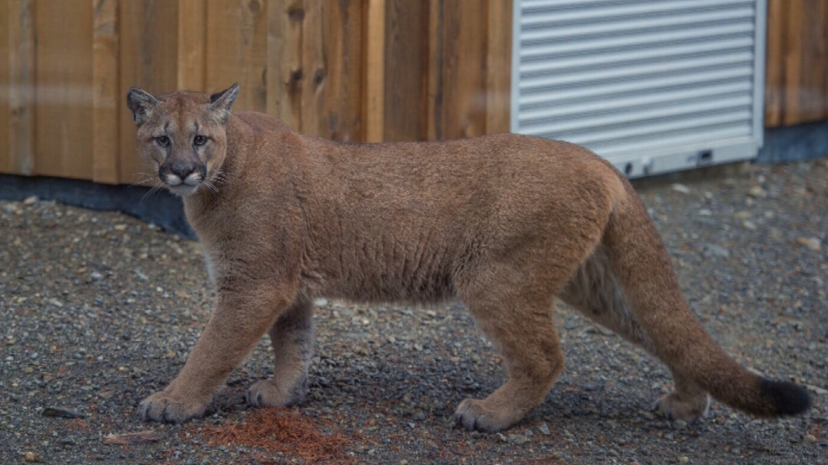 Mom Saves Son From Cougar Attack in Backyard