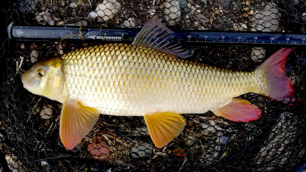 Trash Fish Tuesday: Redhorse
