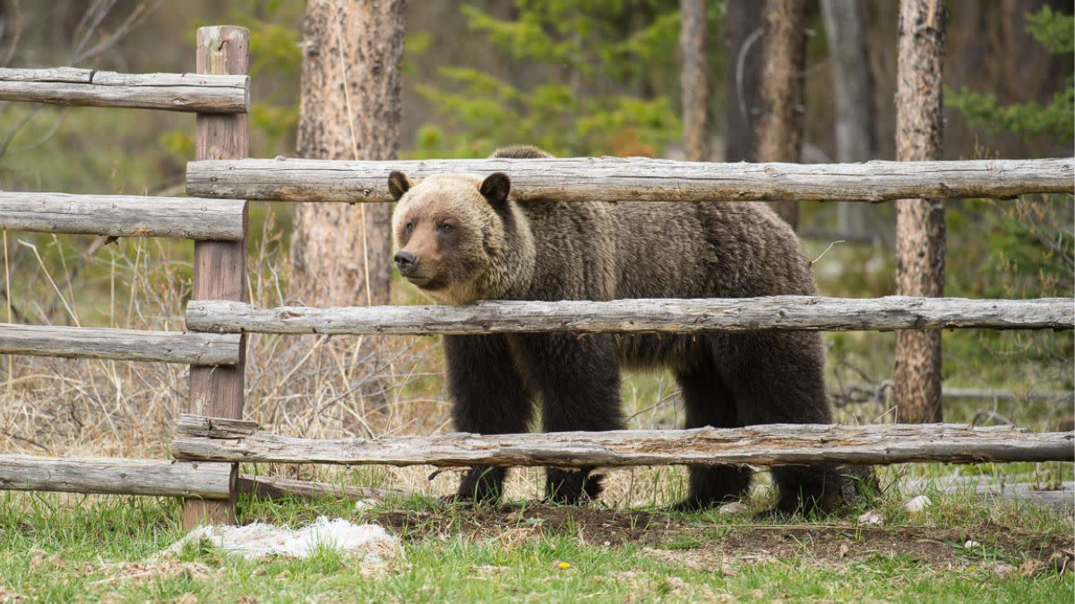Would Hunting Grizzlies Reduce Conflict with Humans?