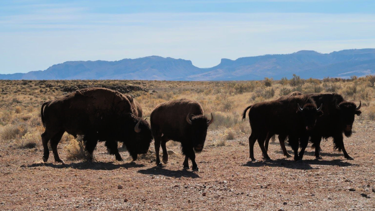Volunteers Needed to Cull Hundreds of Grand Canyon Bison