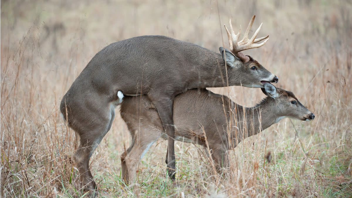 What I've Learned Watching Deer Have Sex