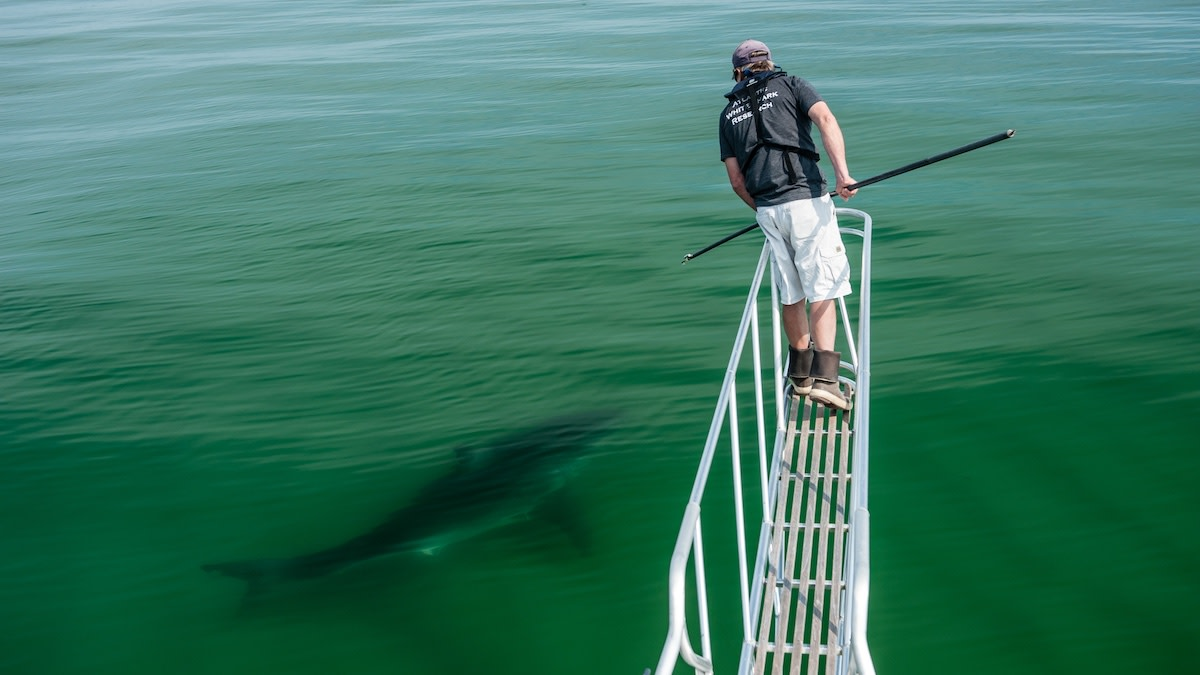 Blood in the Water: Do More Seals Mean More Shark Attacks?