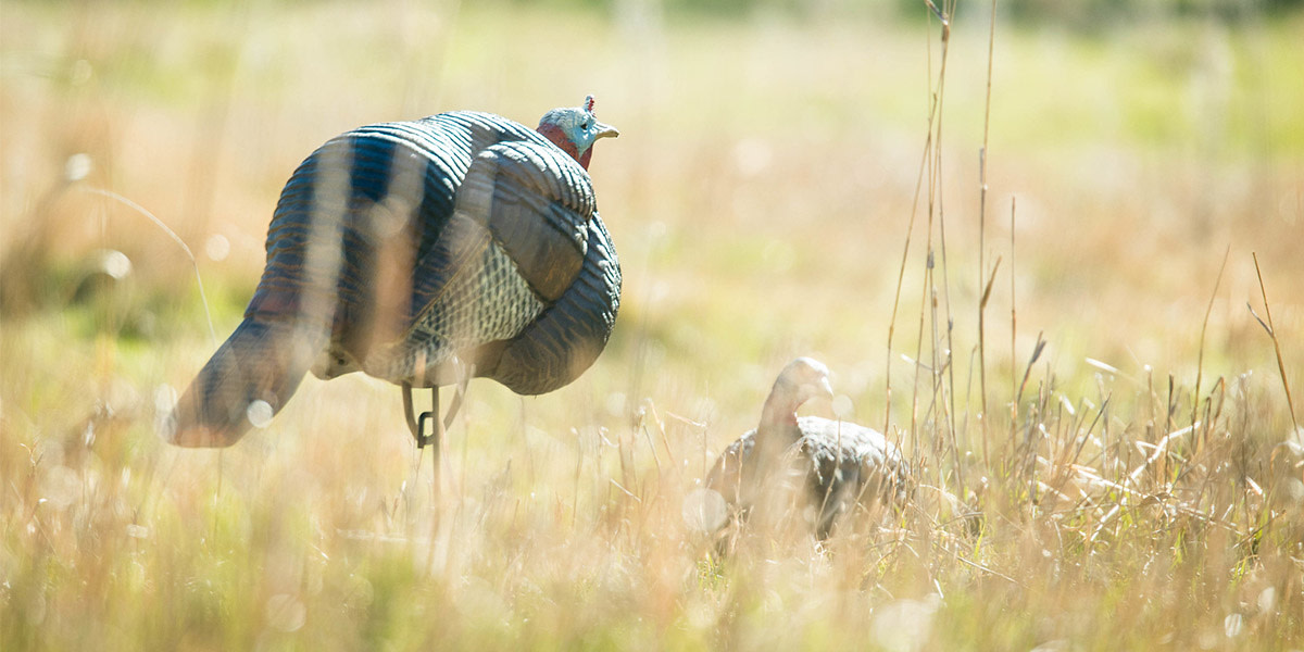3 Never-Fail Turkey Decoy Setups