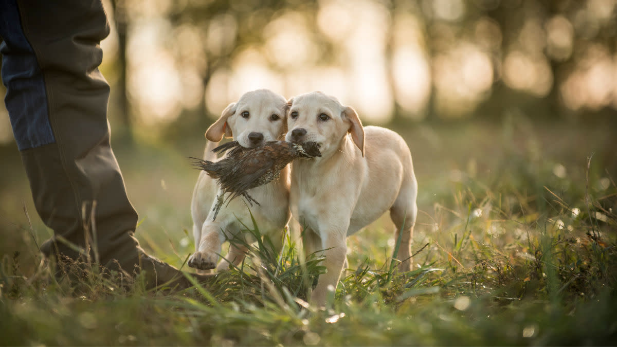 Why Socializing a Bird Dog is Crucial