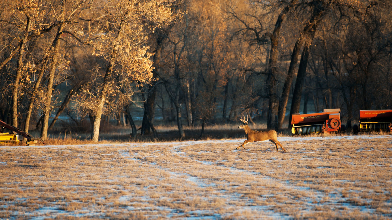 Coyotes Kill Deer, Not Deer Herds
