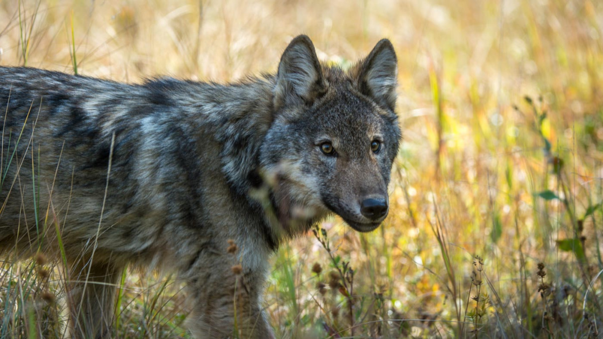 Campers Attacked by Wolf in Canada