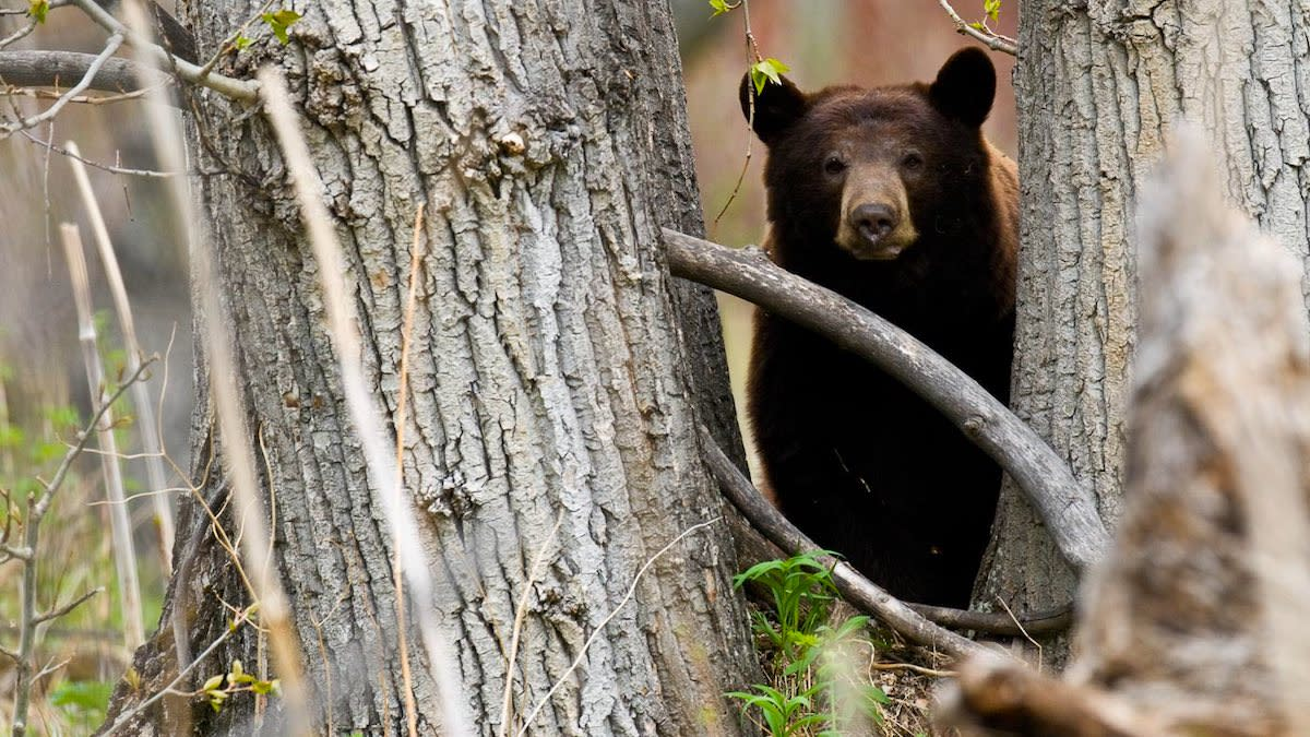 California Bear Hunt Ban Bill Withdrawn Amid Online Outcry