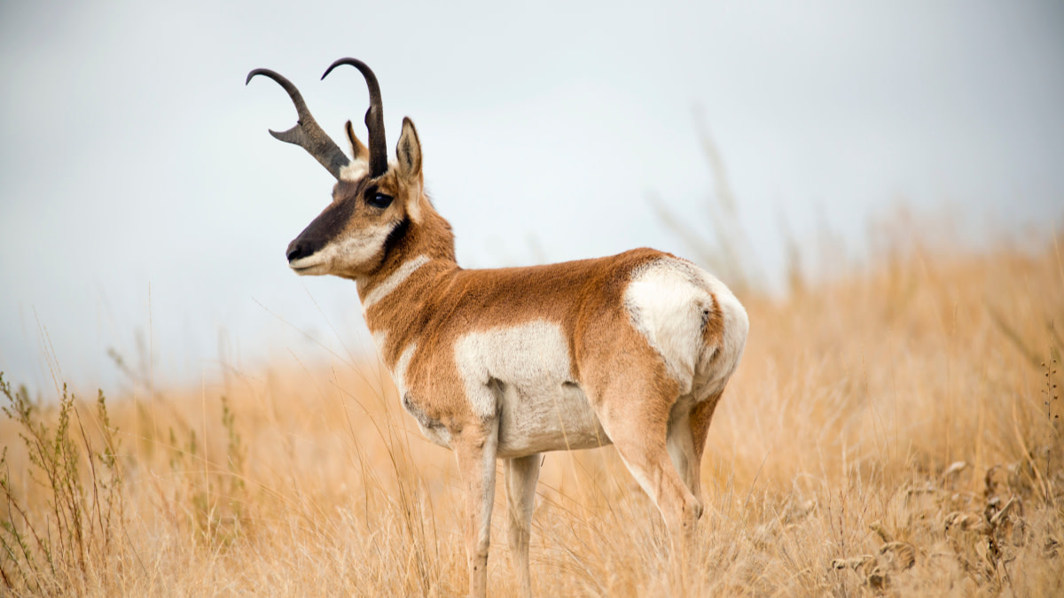 The Best States for Your First Antelope Hunt