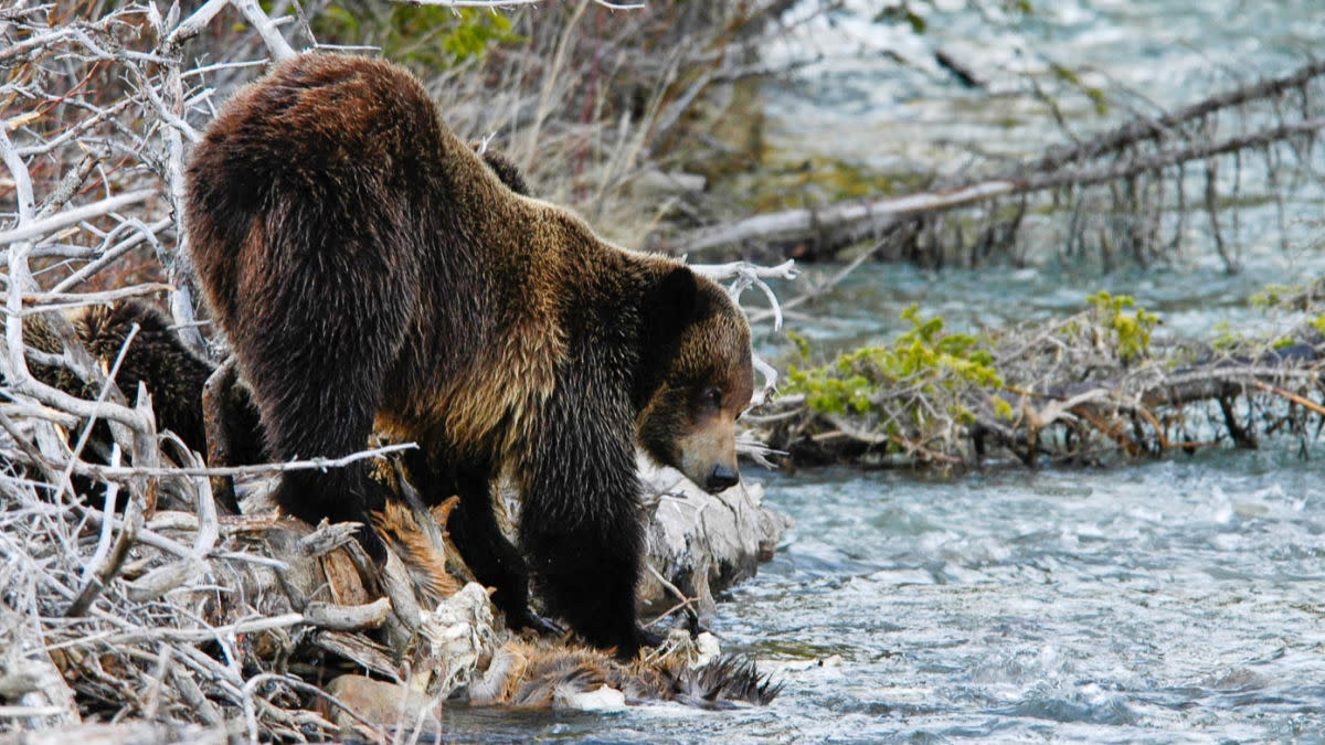 Grizzly Bear Meat: Is It Fit for Dinner?