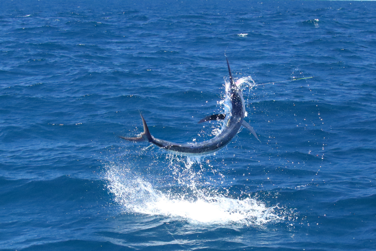 Fly Fishing for Billfish: The King of the Ocean