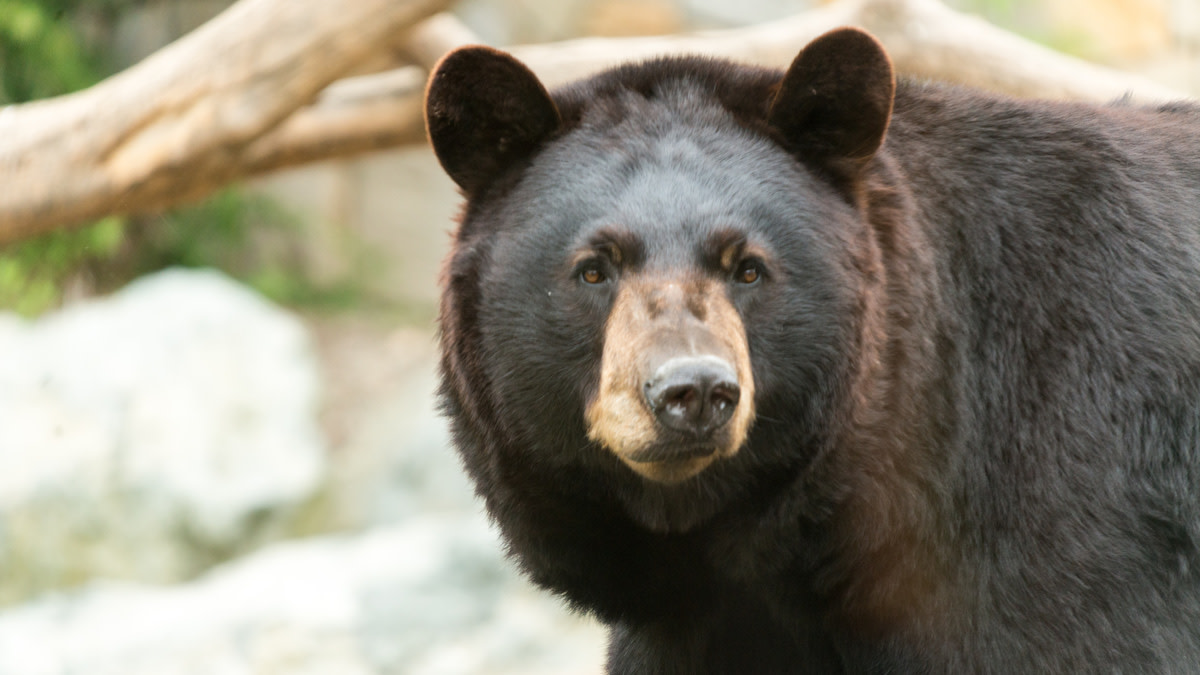 Colorado Woman Killed by Black Bear While Walking Dogs