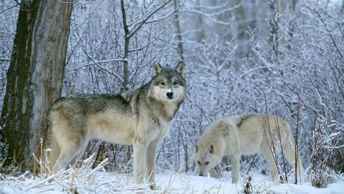 Hunters and Trappers Hit Wisconsin Wolf Quota in Two Days