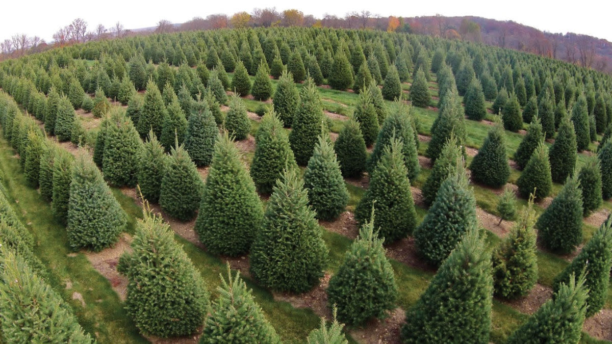 Fact Checker: Can a Christmas Tree Give You Lyme Disease?