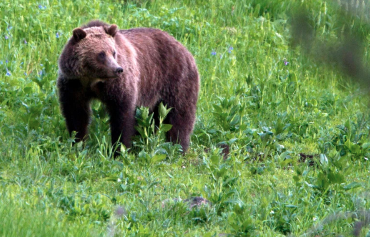 MeatEater's Position on Wyoming's Proposed Grizzly Bear Hunt