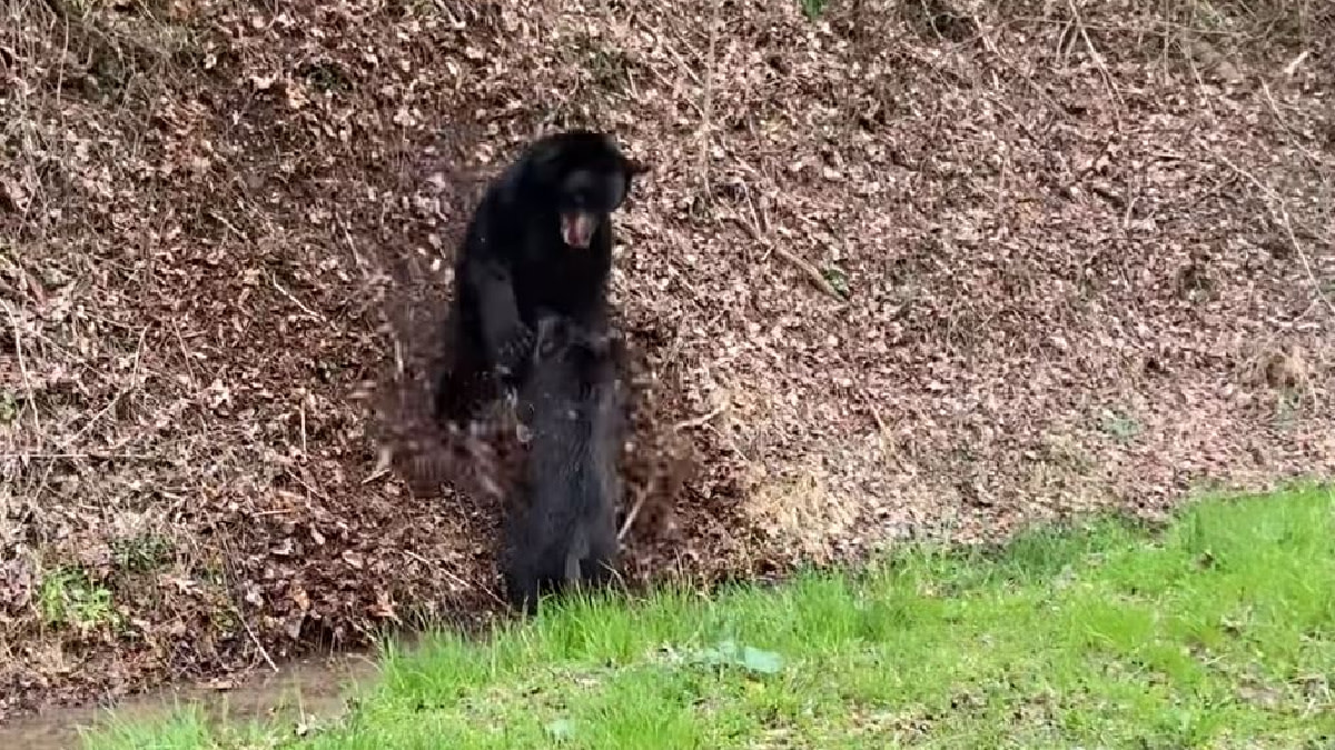 Video: Black Bear and Feral Hog Fight to the Death