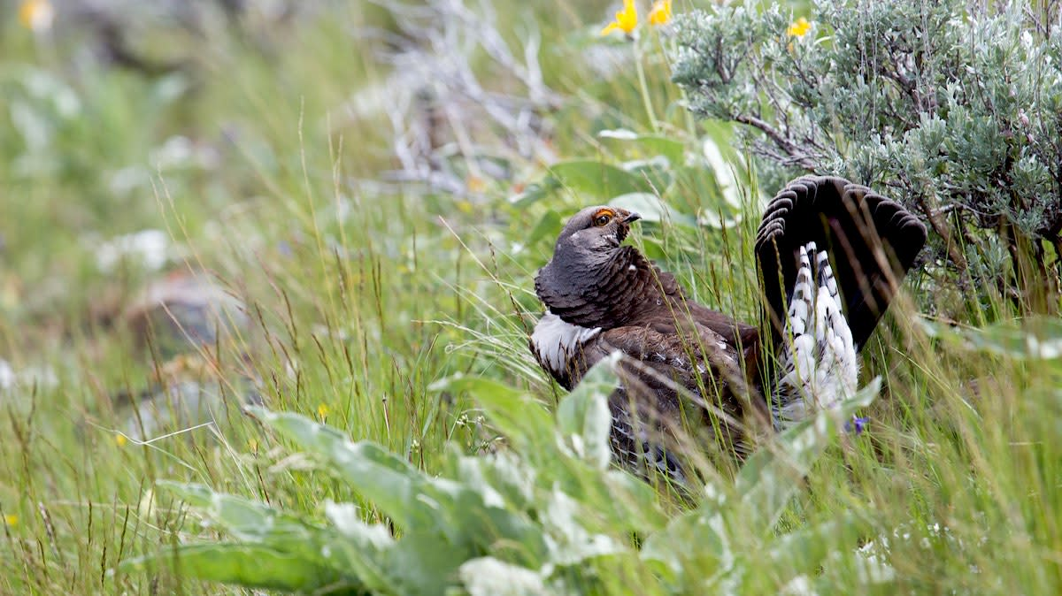 Stoning Grouse: A Traditional, Legal Conundrum