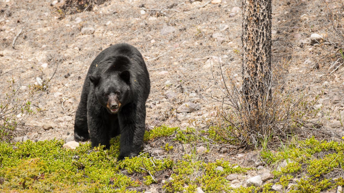 The Biology of the Black Bear Rut
