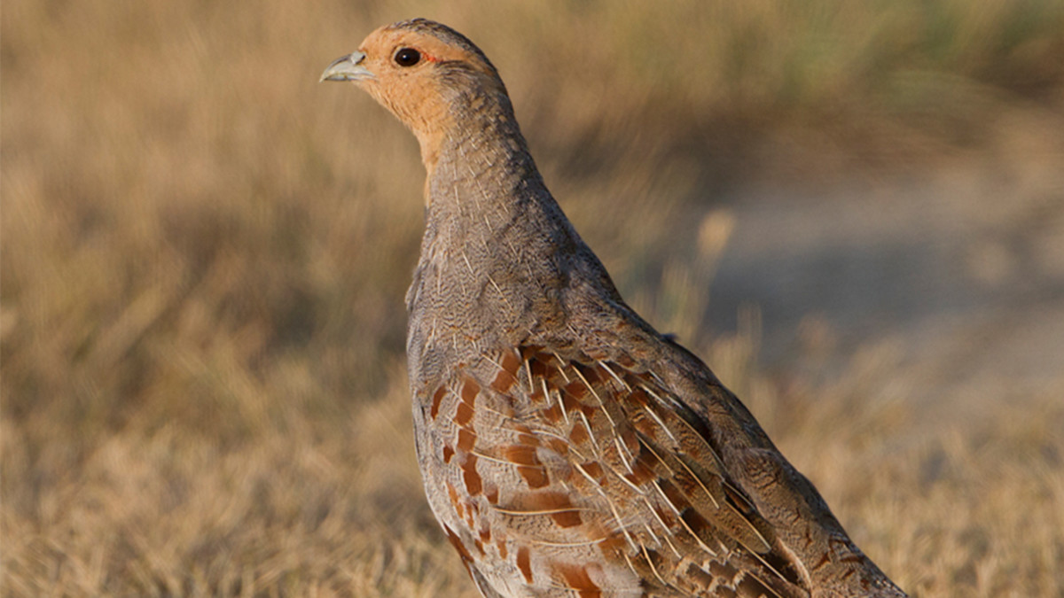 A Guide to Hunting Hungarian Partridge