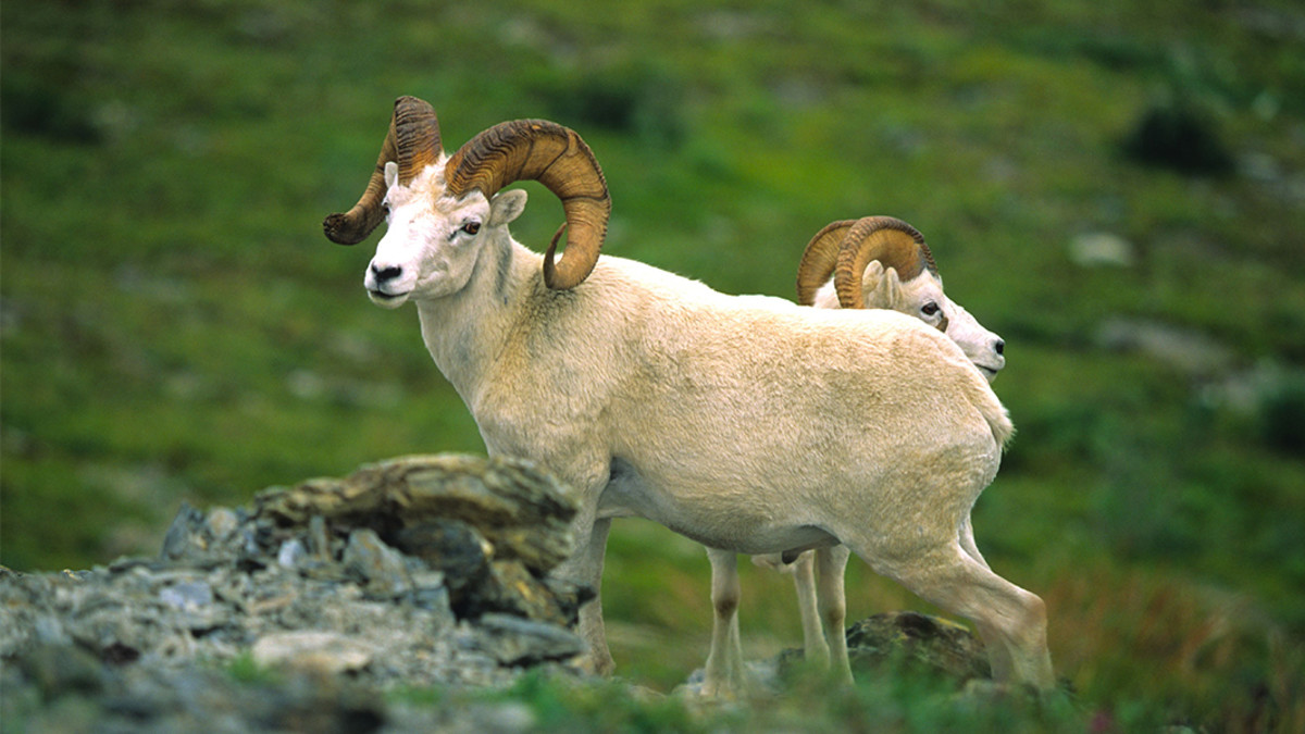 A Guide to Hunting Dall Sheep