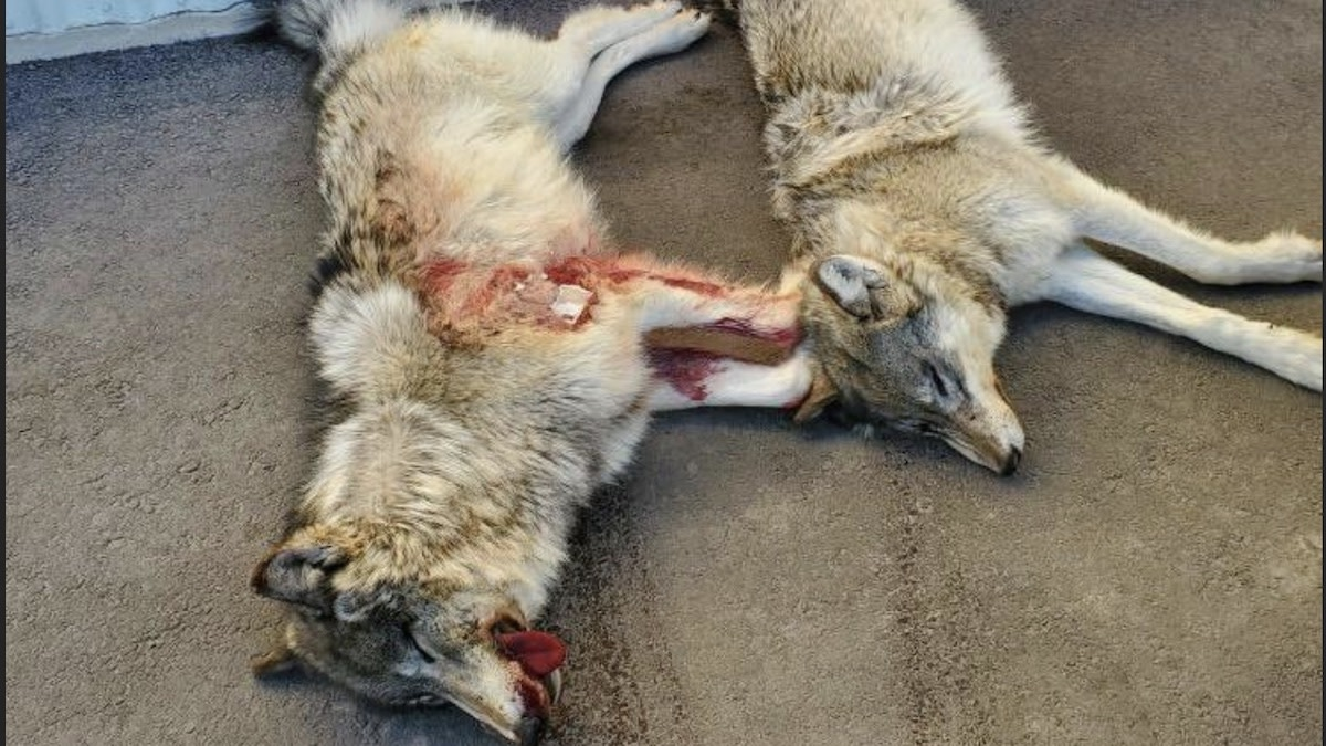 Two Men Charged for Poaching Wolves From Helicopter