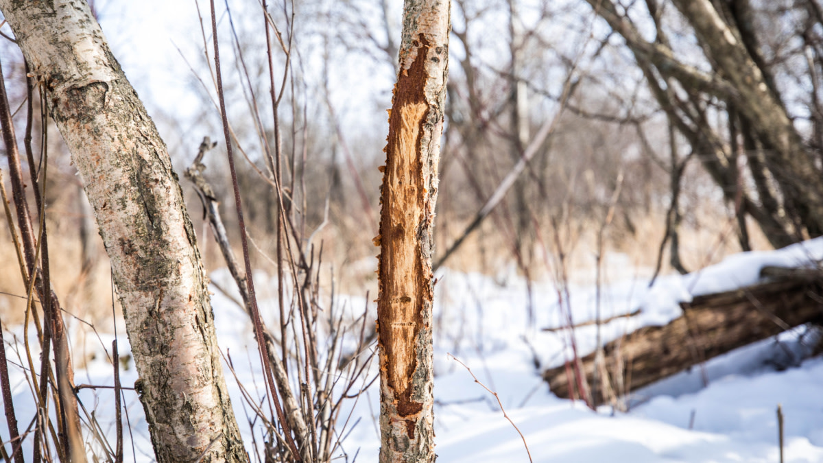 3 Lessons You Can Learn from Whitetail Rubs
