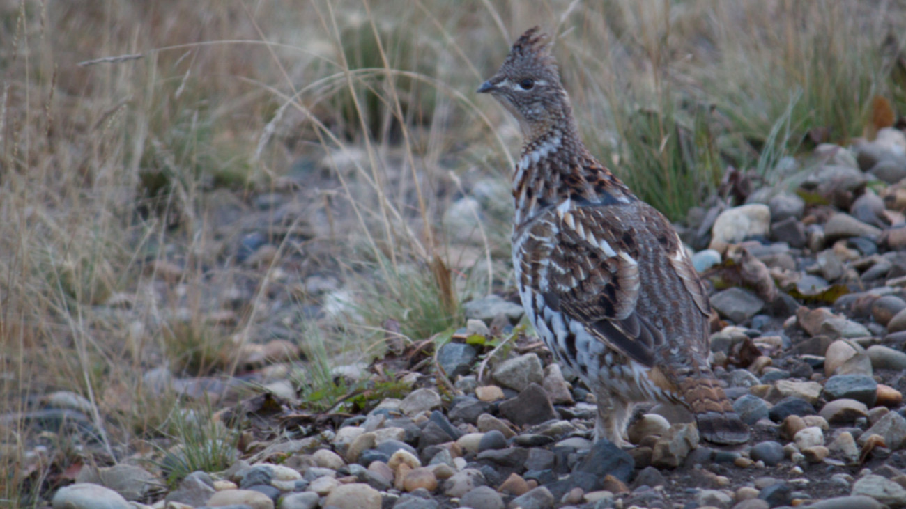 Fair Chase or Taboo: Is it OK to Ground Swat Grouse?