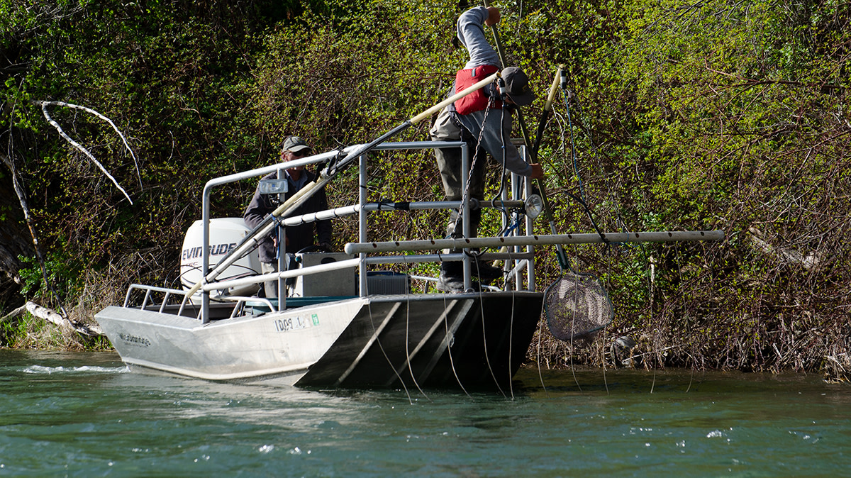 'Shock and Awe:' Suppressing Rainbow Trout on the South Fork of the Snake River