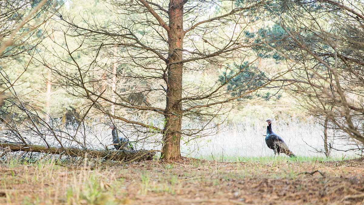 How to Turkey Hunt in Big Woods