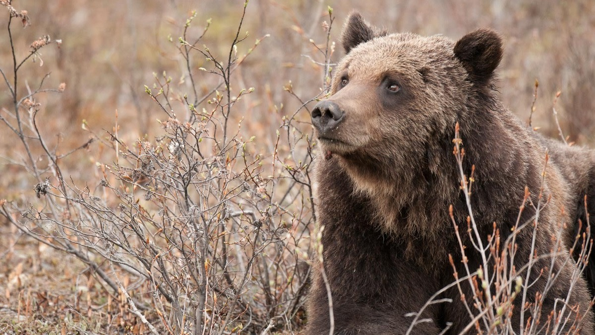 Angler Killed by Grizzly in First Attack of 2021