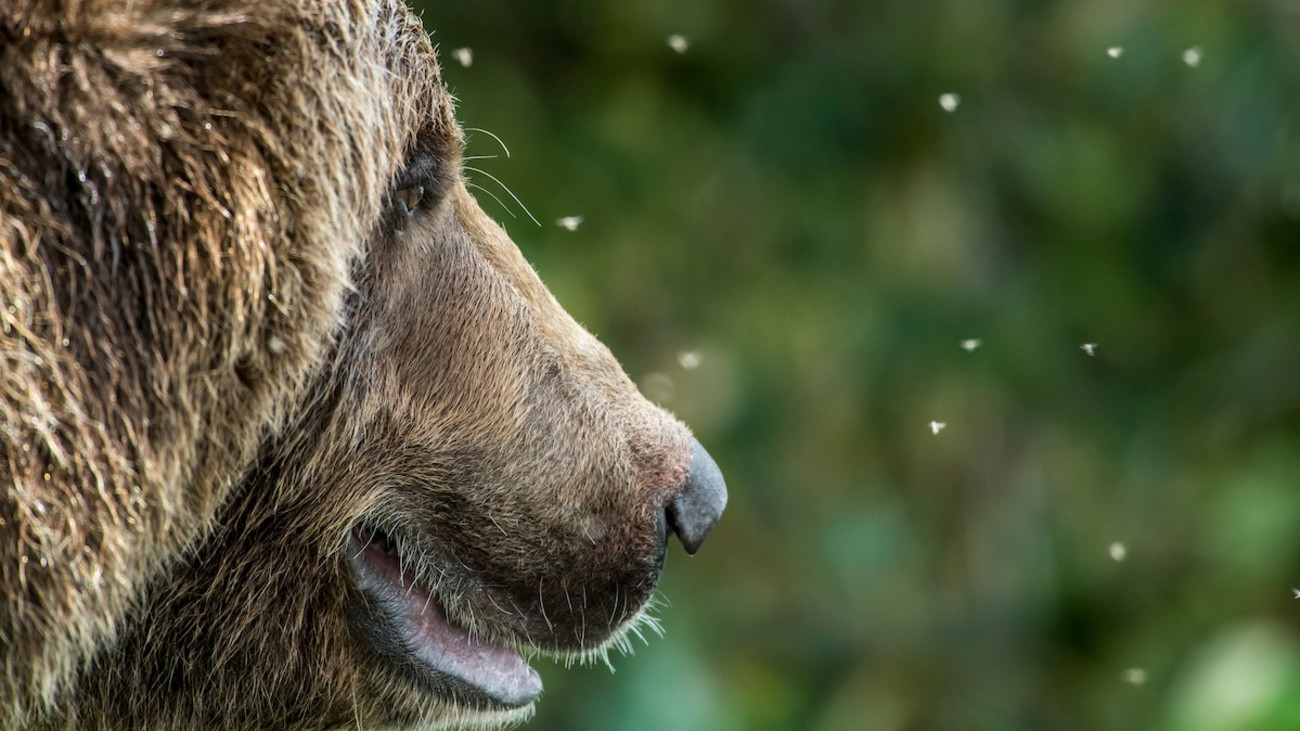 Does Your Dog's Nose Work Better Than a Grizzly's?