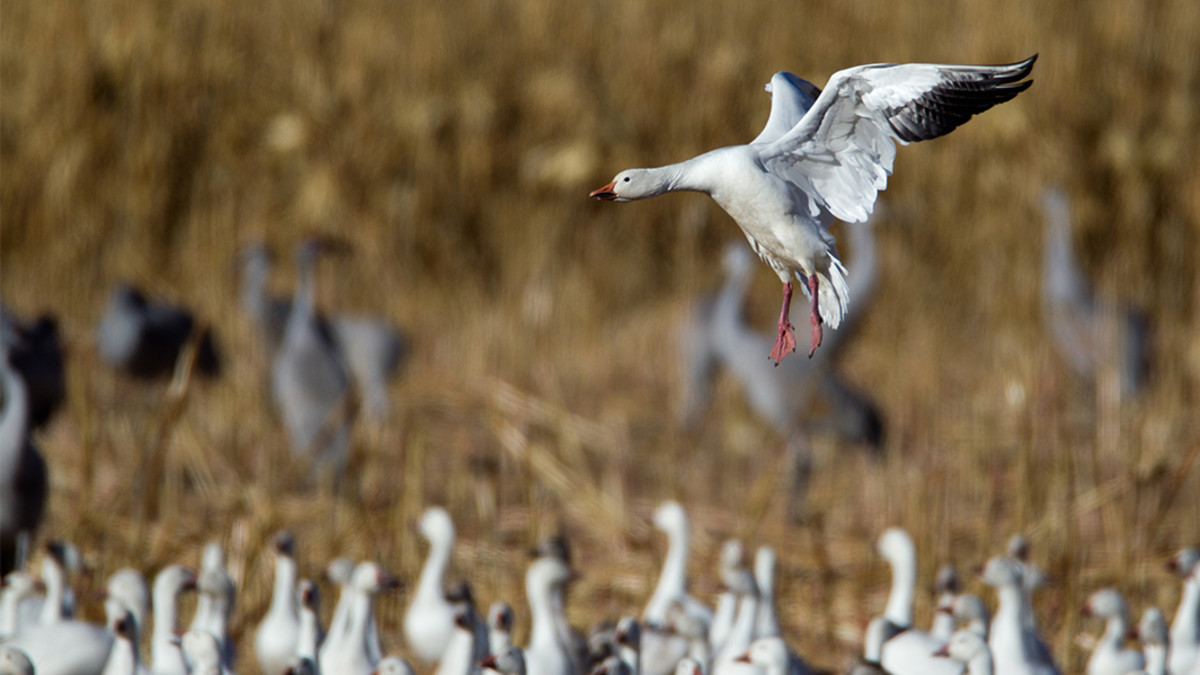 A Species Profile on Snow Geese