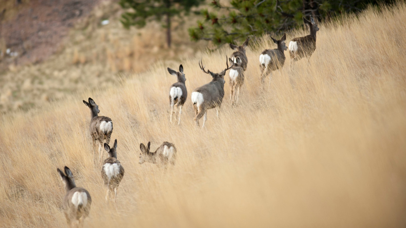 Are Mule Deer Going Extinct?
