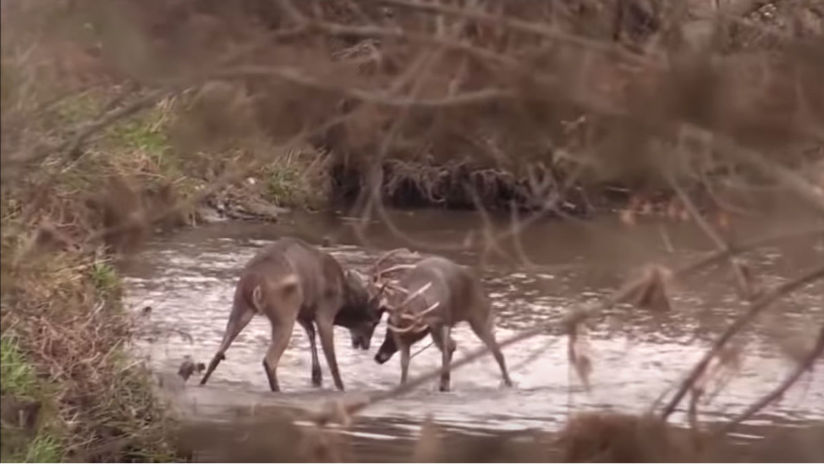 Video: The Greatest Whitetail Buck Fight of All Time