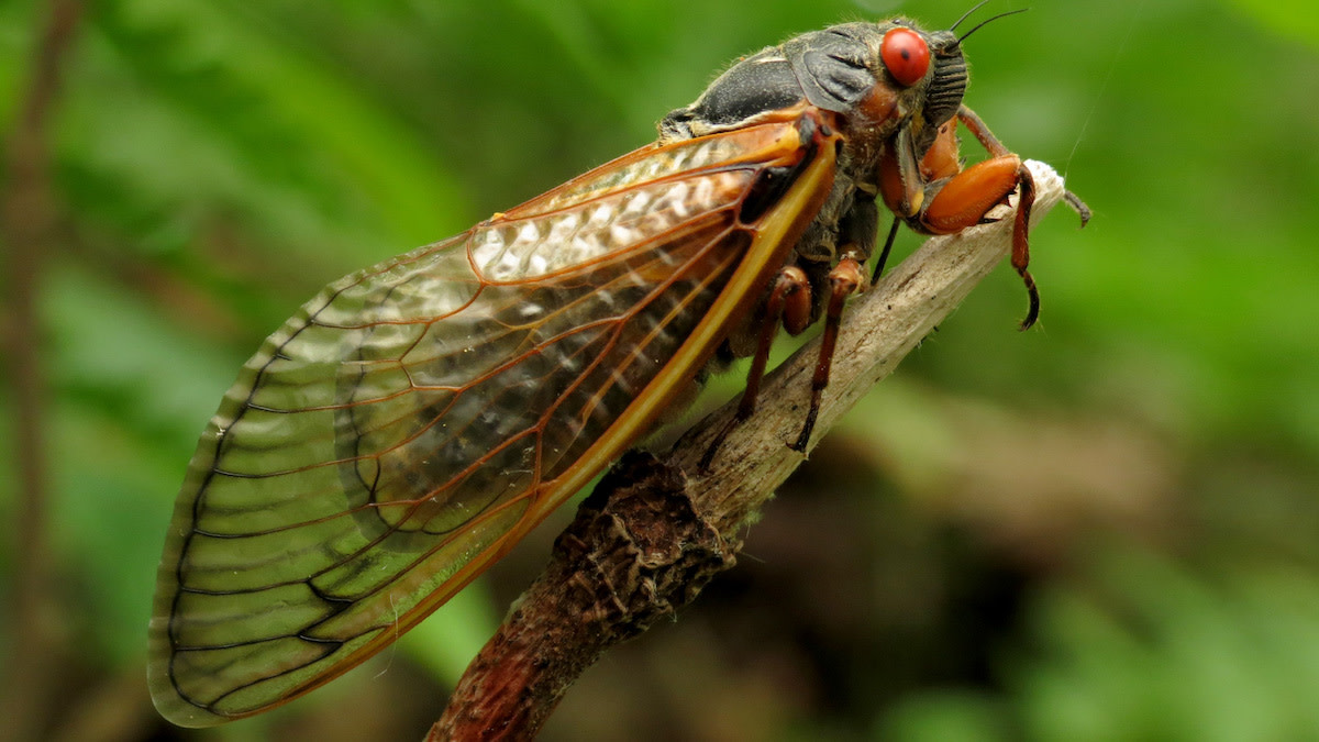 17 Years Waiting: How to Fish the Brood X Cicada Hatch