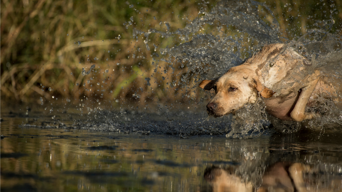 3 Drills Every Duck Dog Should Master