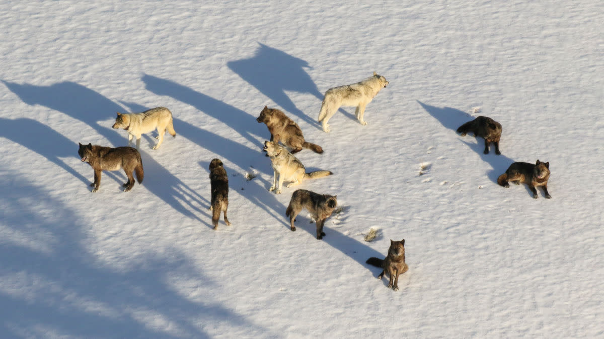 Should Wolves be Reintroduced to Colorado?
