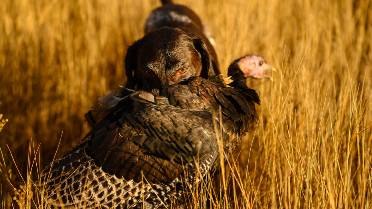 How to Hunt Turkeys with a Dog