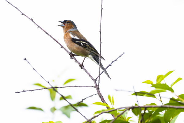 Birdsong: a free concert with special meaning - Buchfink by Leander Khil