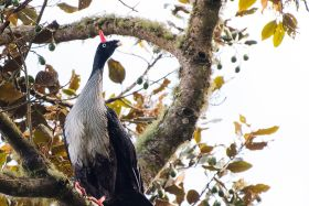 Horned Guan by Leander Khil