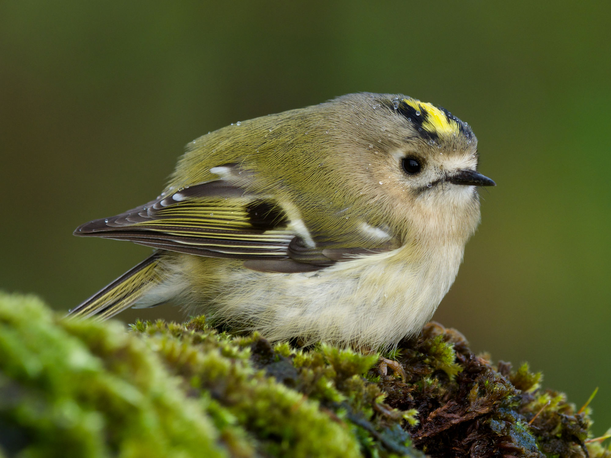 Goldcrests Autum Biridng in Scotland, Dan Brown