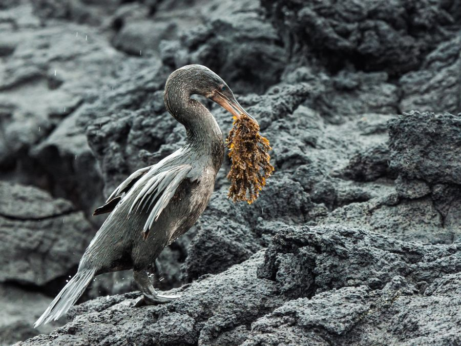 Flightless Cormorant Galapagos
