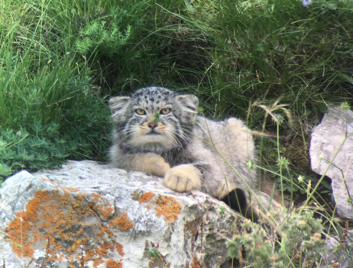 Pallas's Cat, sitting behind a rock 2 Qinghai Lake