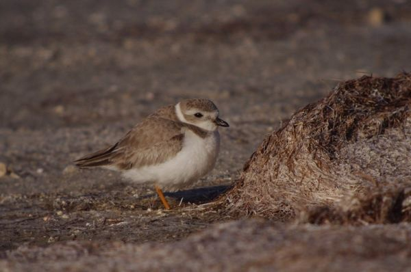 115-mm objective module Clay Taylor 3/3 Piping Plover