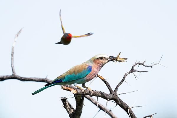 #gobirdingvlog Episode 8: Namibia - Lilac-breasted-Roller Namibia Leander Khil