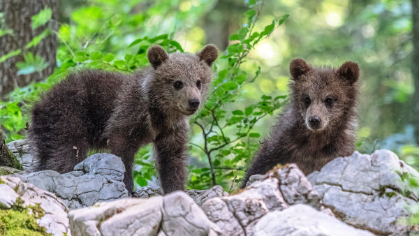 !!! Andreas Hütten Entering the bears' realm O/ - Andreas Hütten - two four-month-old bear cubs