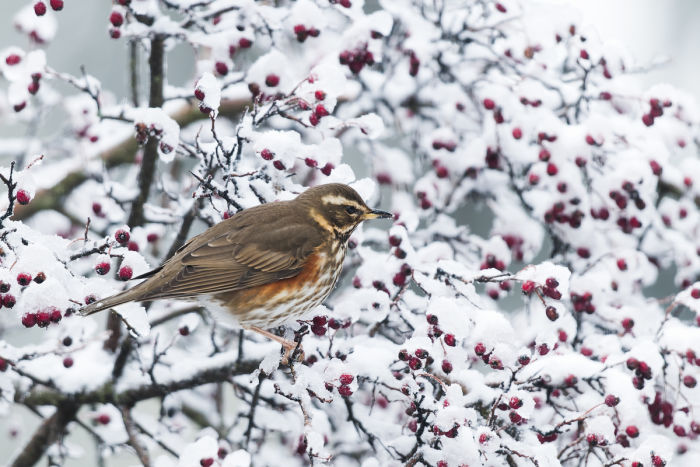 The Redwing (Turdus iliacus) is a fairly common winter migrant in Europe. It has a rather small, attractive thrush with bold whitish eyebrows, variable orangey patches on the flanks, and a yellow base to the bill.